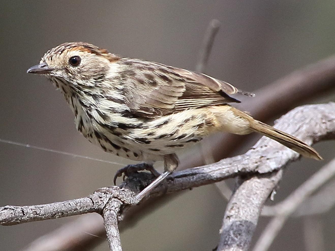 Speckled Warbler - Scott Eaton