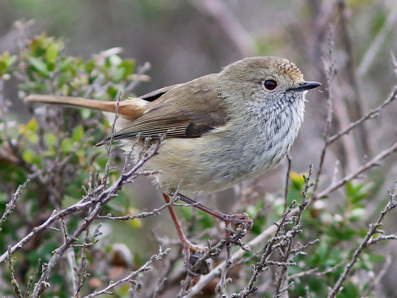 Brown Thornbill - Rohan van Twest