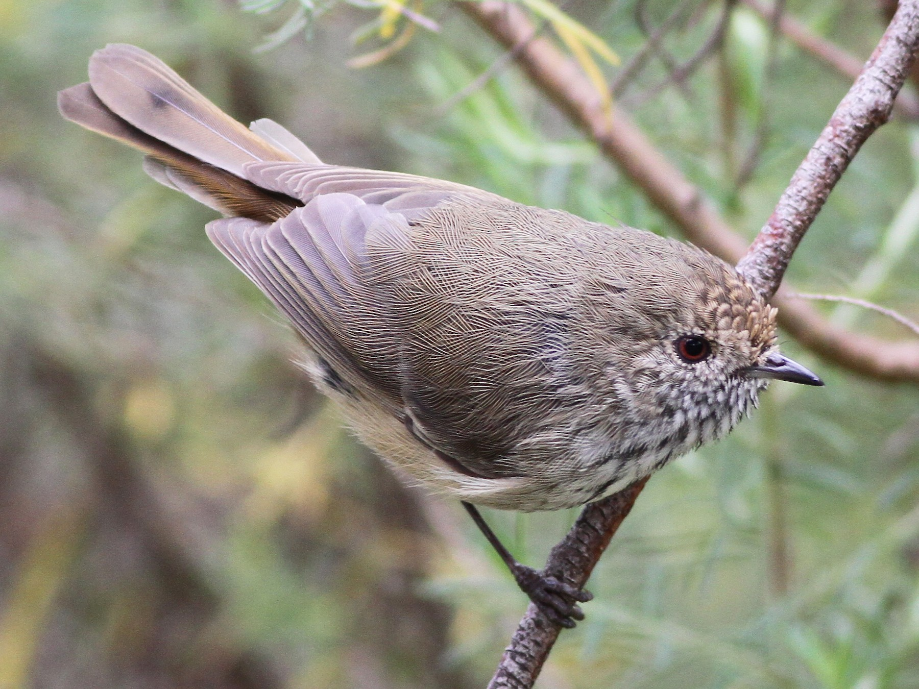Brown Thornbill - Chris Wiley