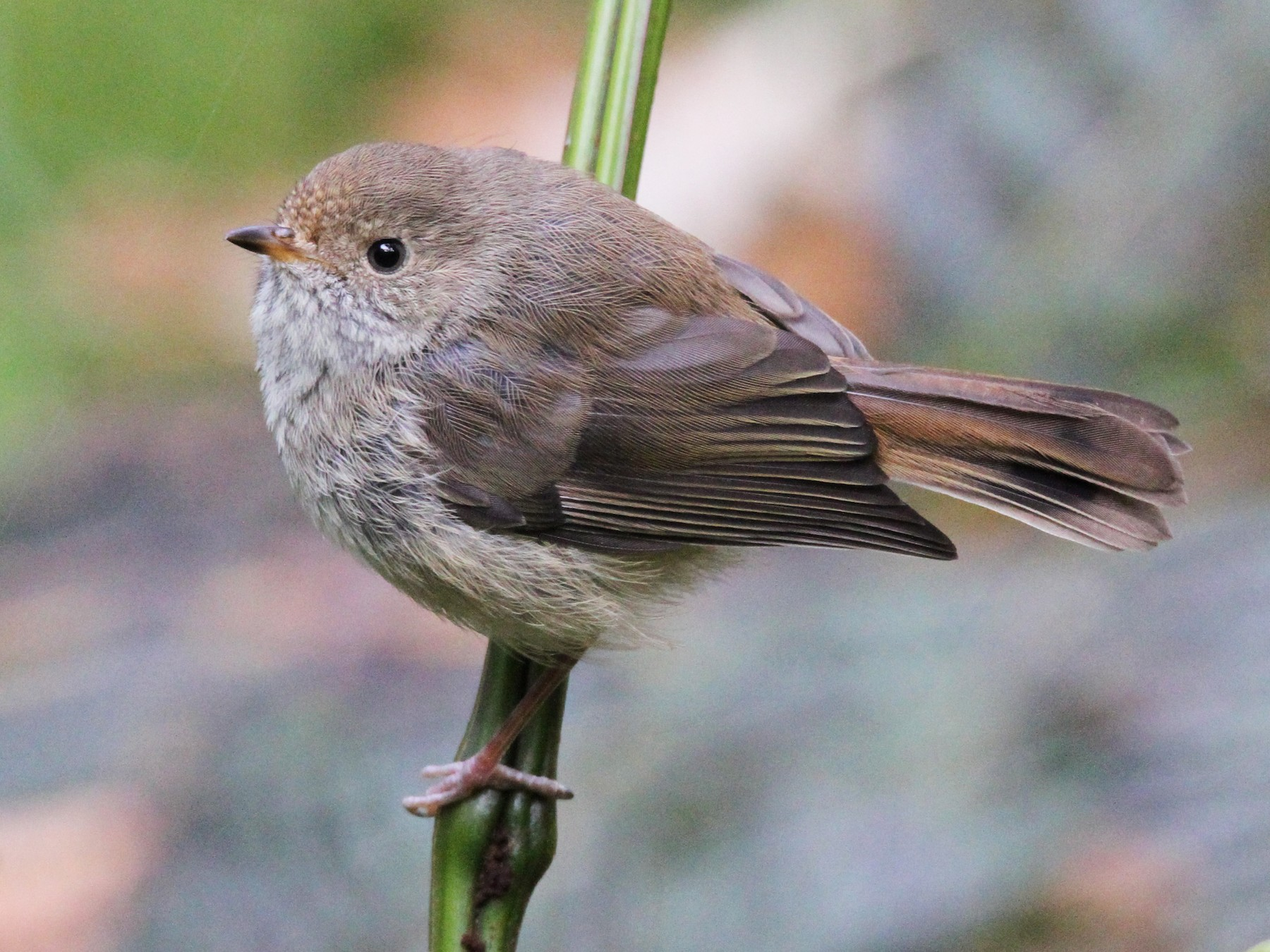 Brown Thornbill - Colin Mulvogue