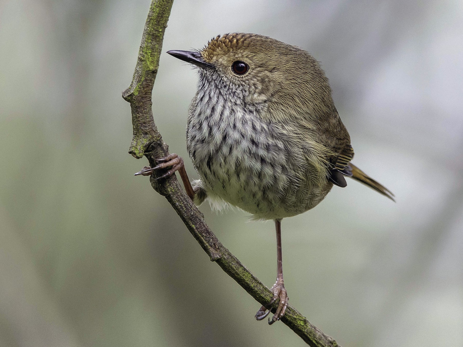 Brown Thornbill - Adam Fry