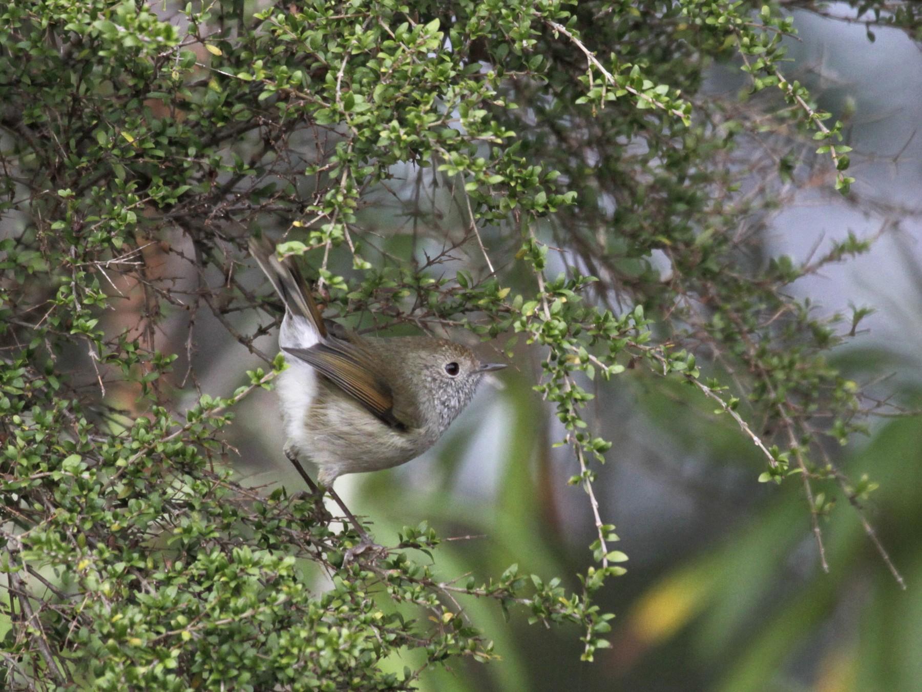 Tasmanian Thornbill - Paul Brooks