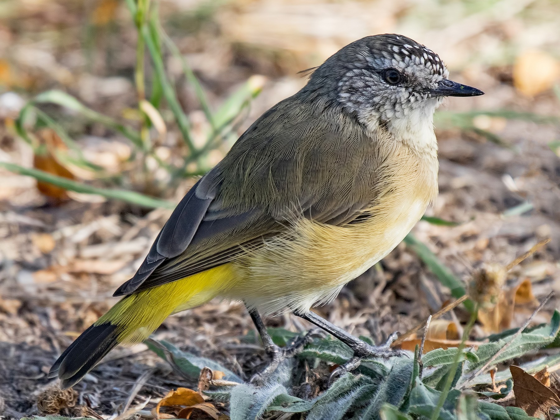 Yellow-rumped Thornbill - Julie Clark