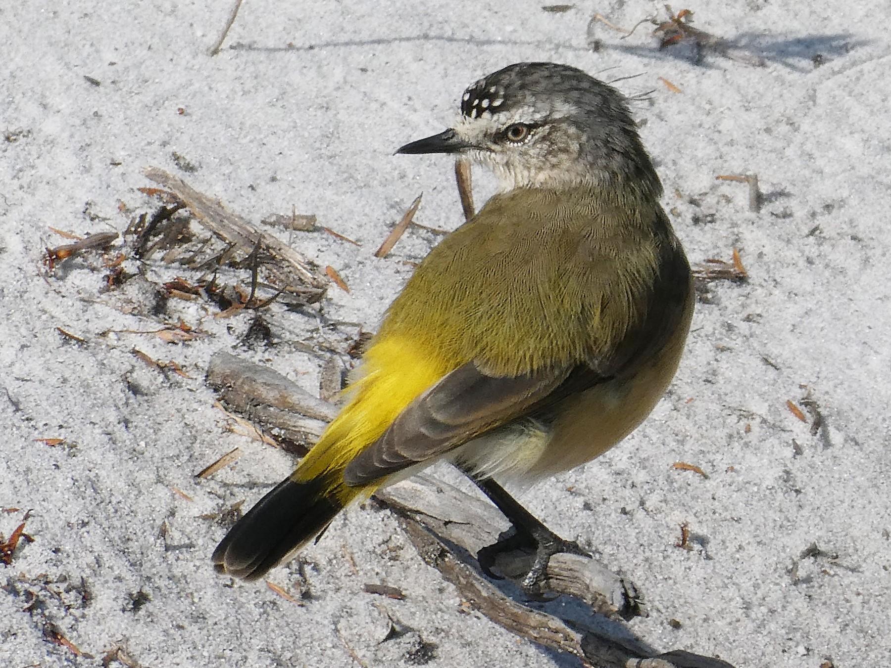 Yellow-rumped Thornbill - Shelley Altman