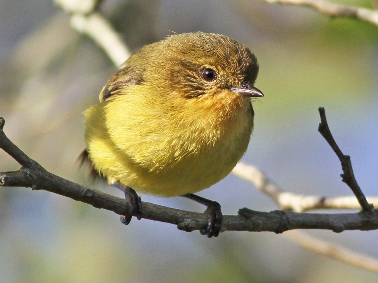 Yellow Thornbill - Chris Wiley