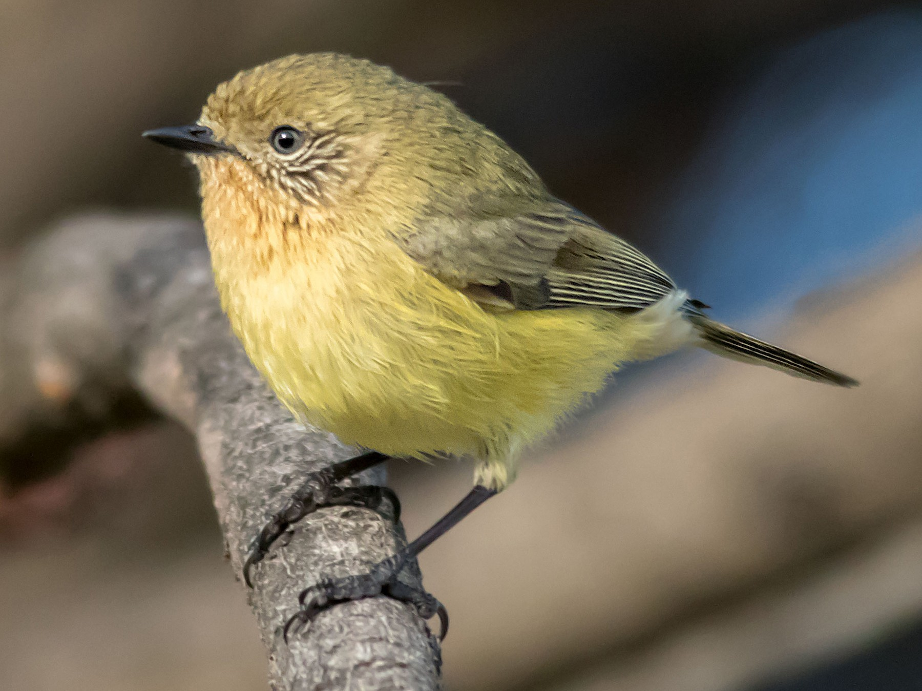 Yellow Thornbill - Andrew Allen