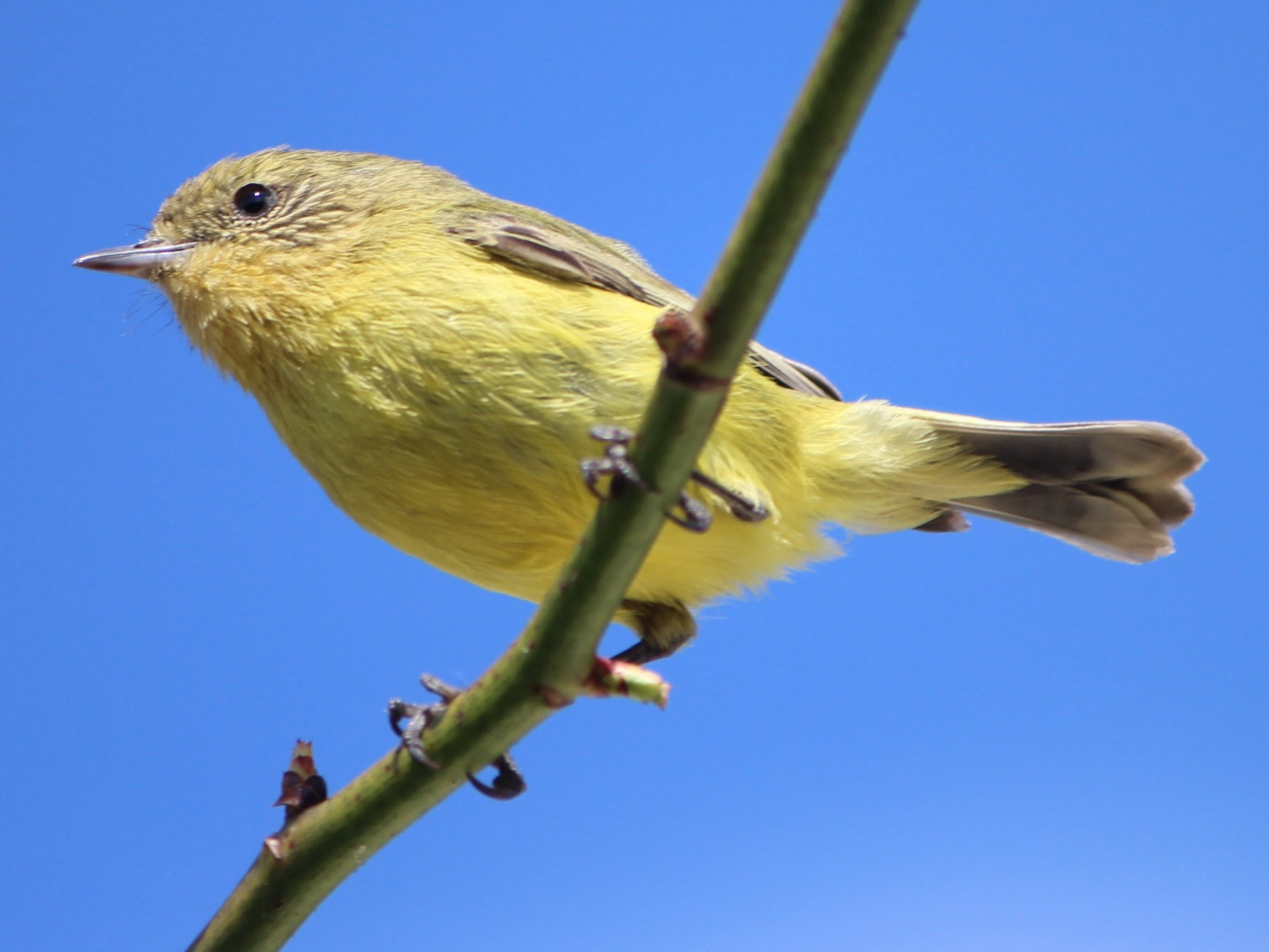 Yellow Thornbill - Donna Nagiello