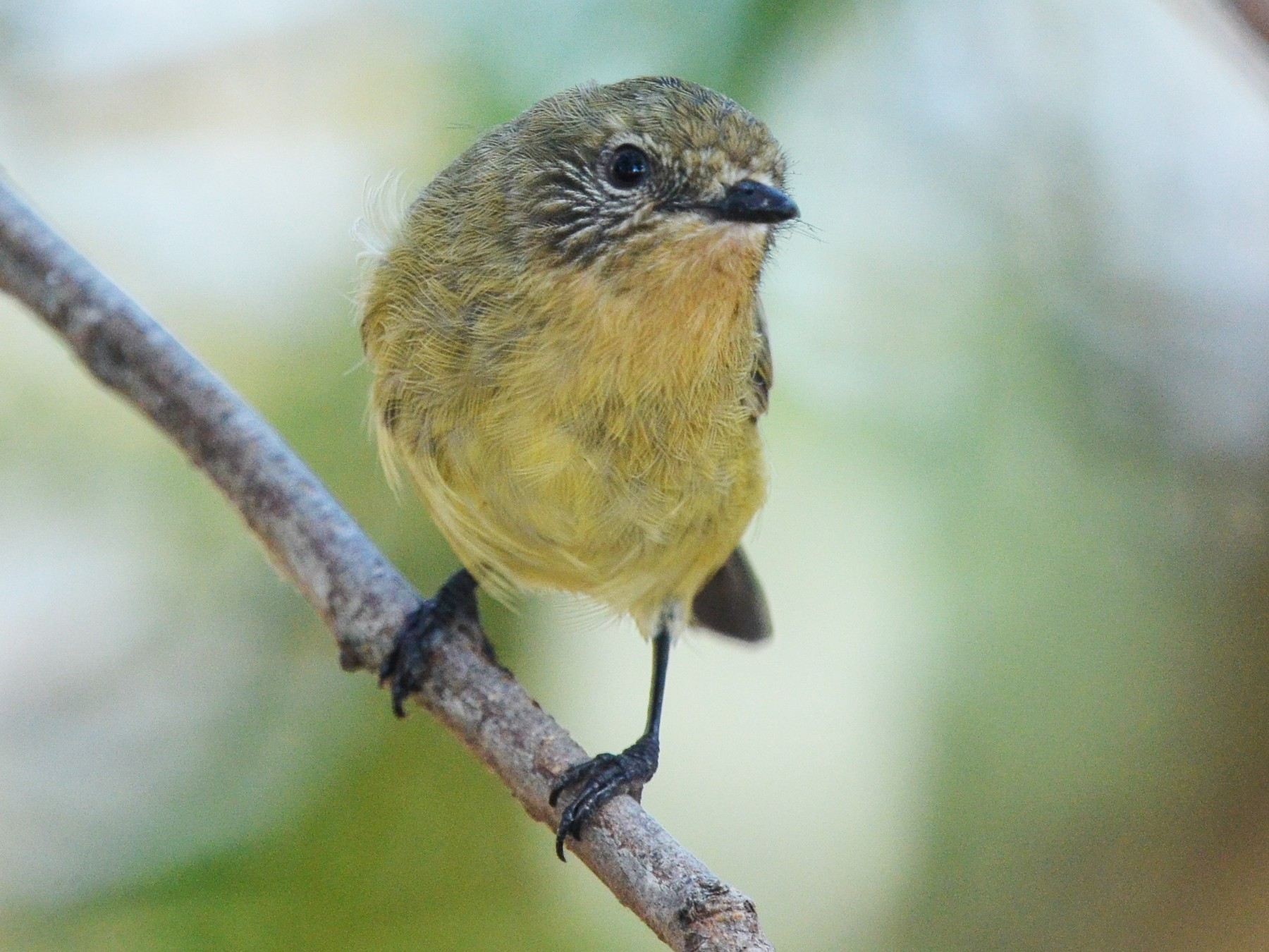 Yellow Thornbill - Bruce Wedderburn