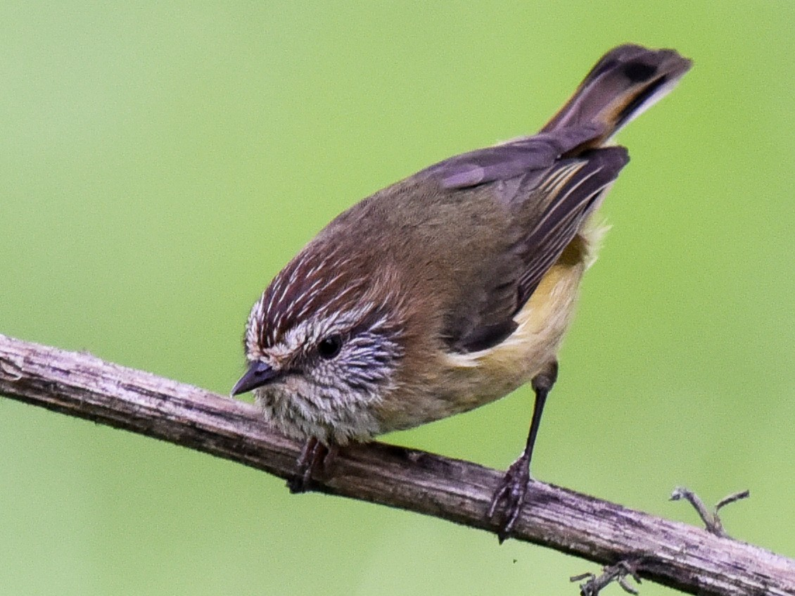 Striated Thornbill - Bruce Wedderburn