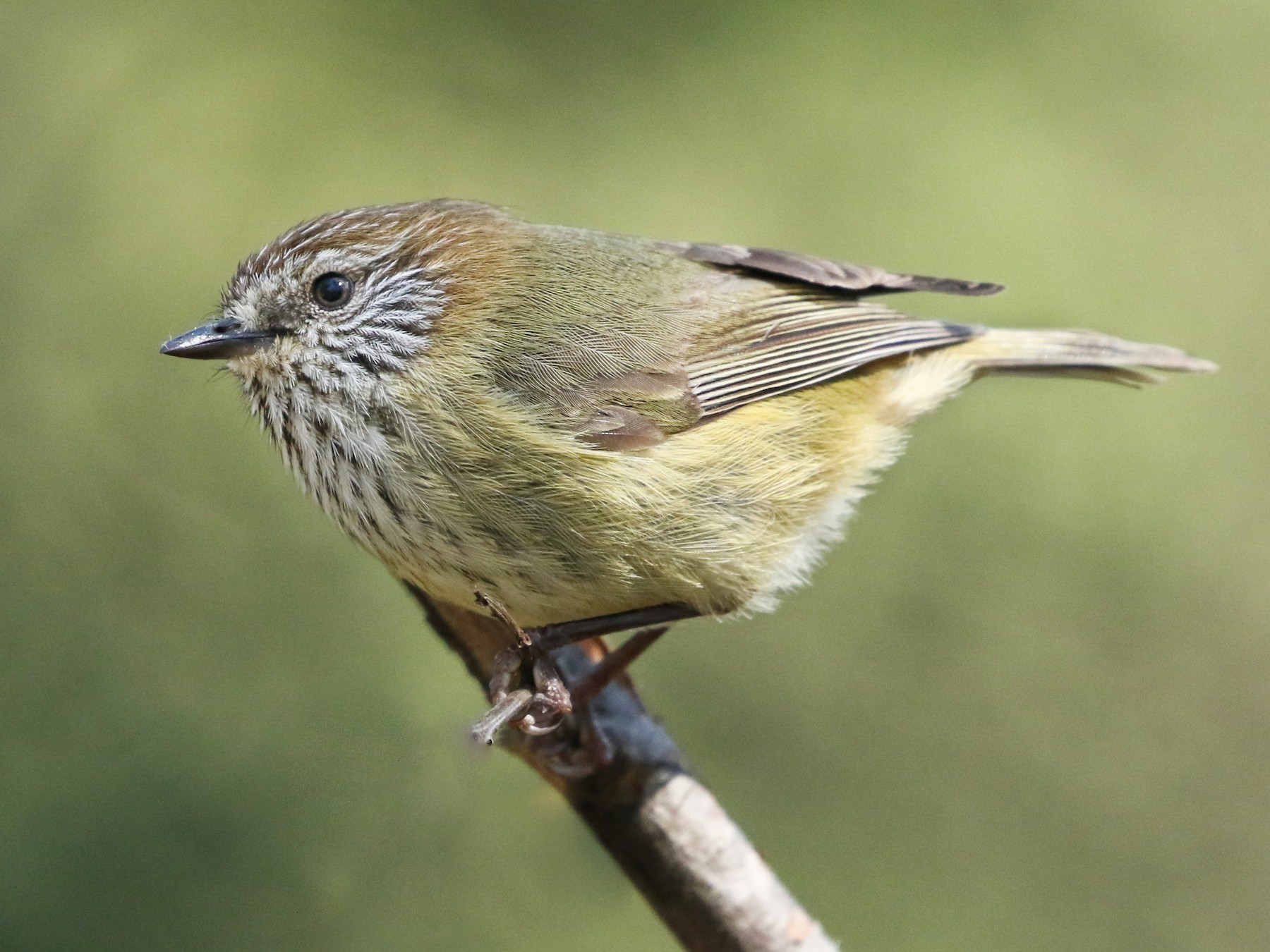 Striated Thornbill - David Ongley