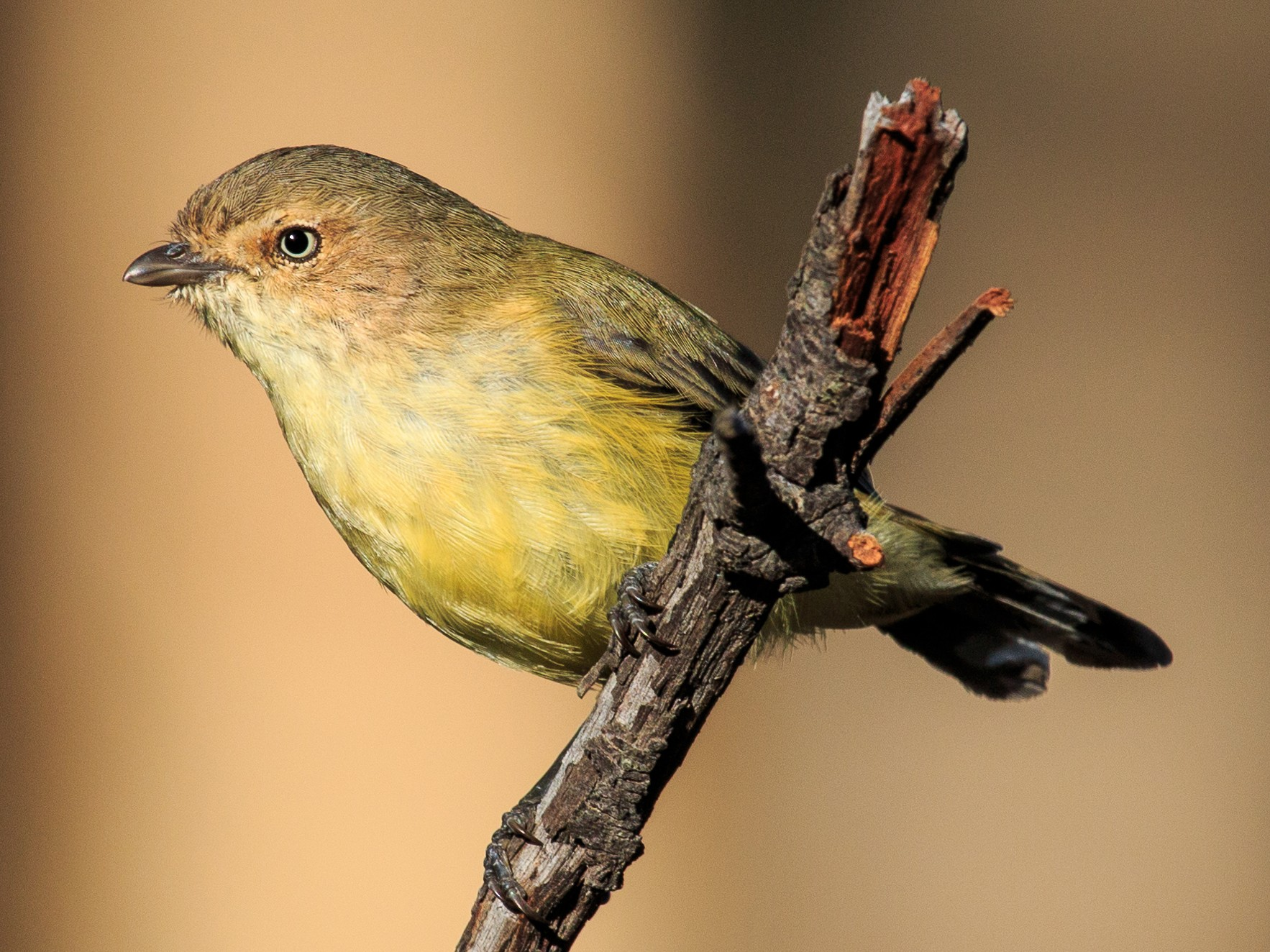 Weebill - Fred Coles