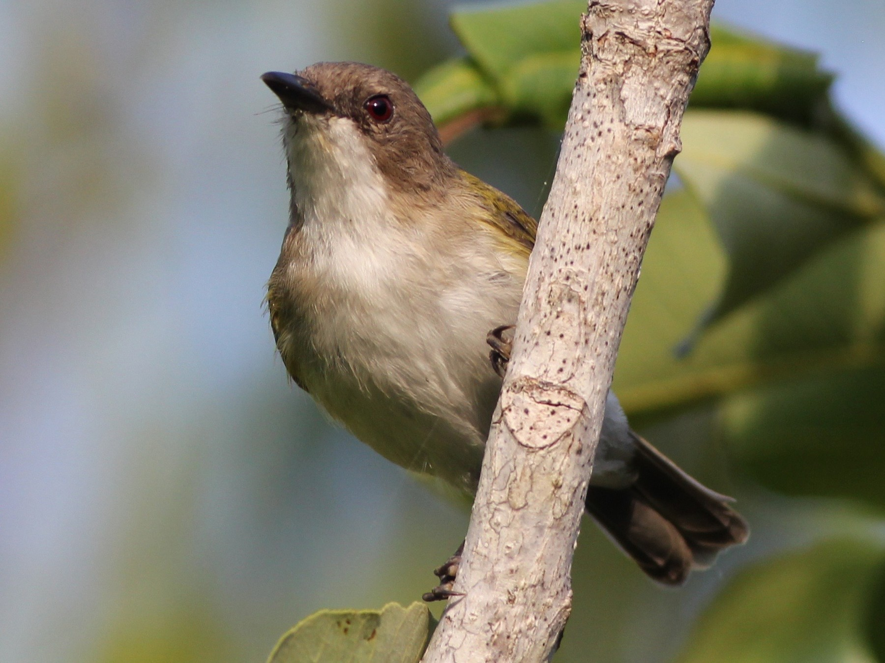 Green-backed Gerygone - Chris Wiley