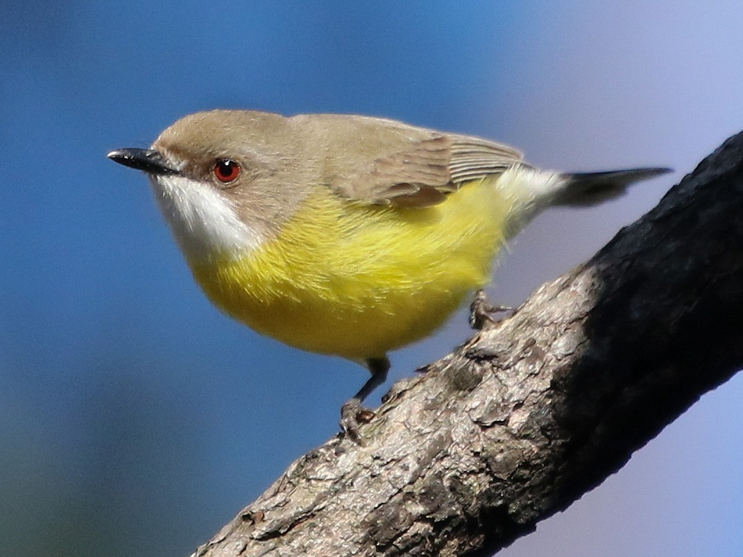 White-throated Gerygone - David Ongley