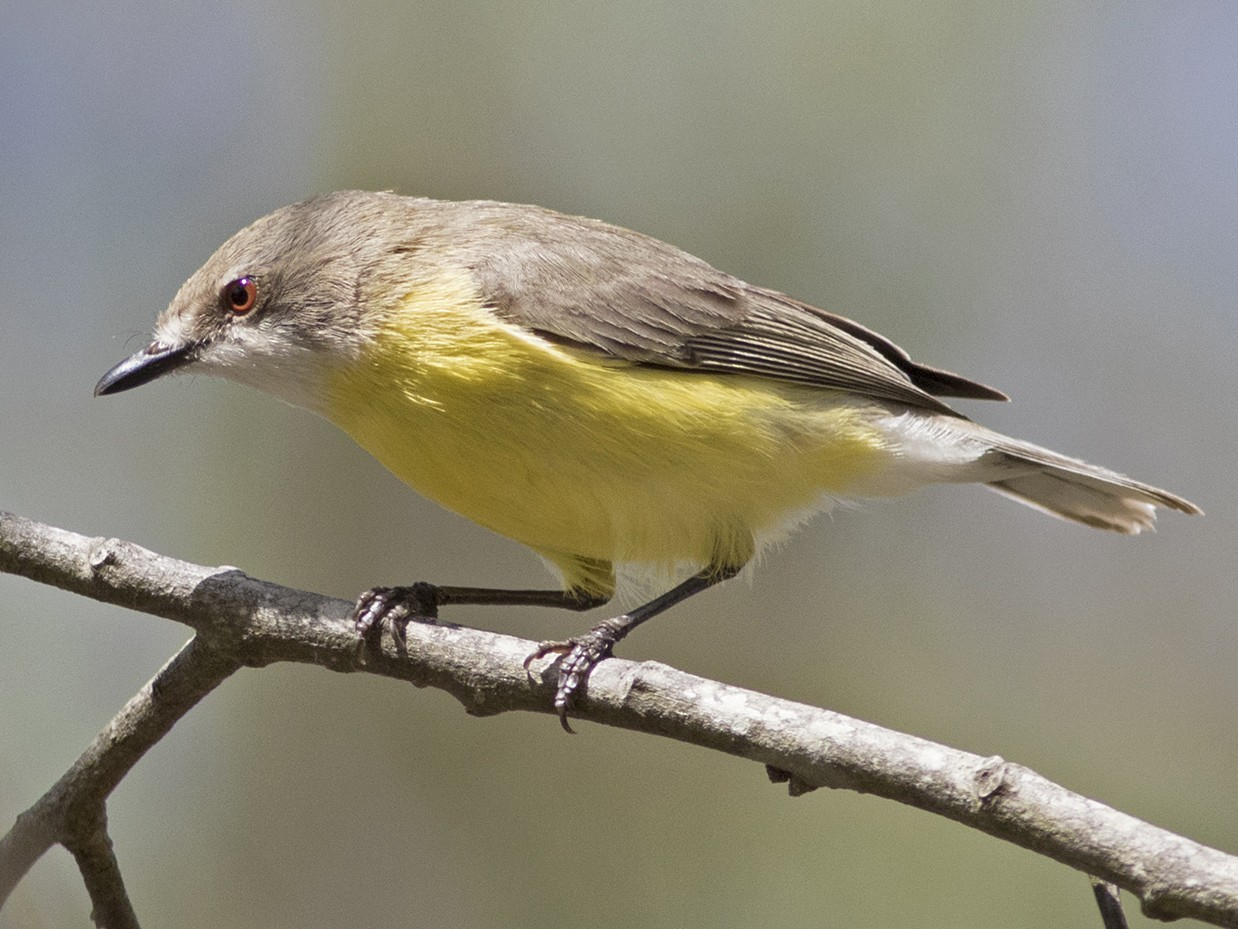 White-throated Gerygone - Stephen Murray