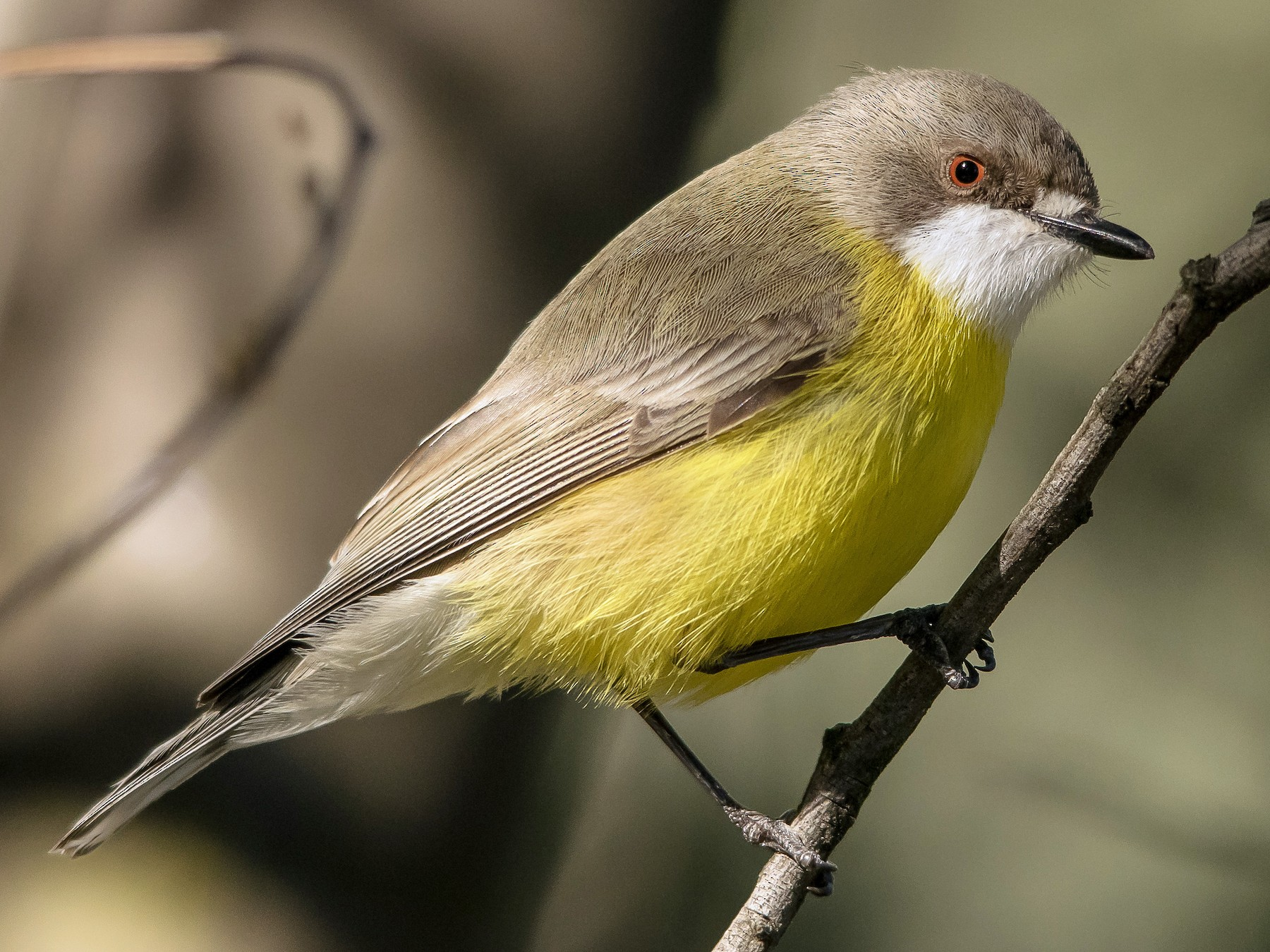 White-throated Gerygone - Adam Fry