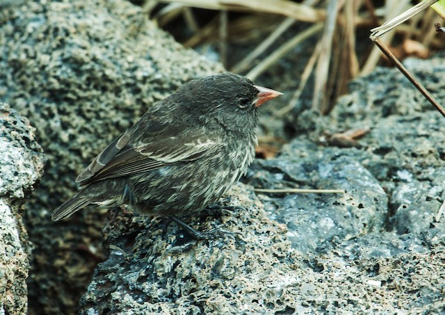 Genovesa Ground-Finch