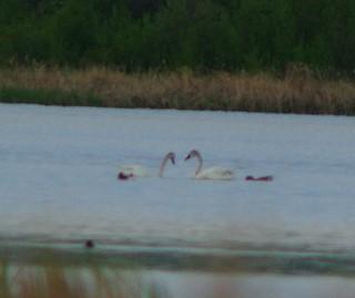 Trumpeter Swan, ML125594431