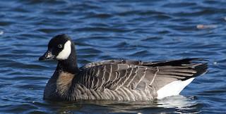 Cackling Goose (Richardson's), ML125604801