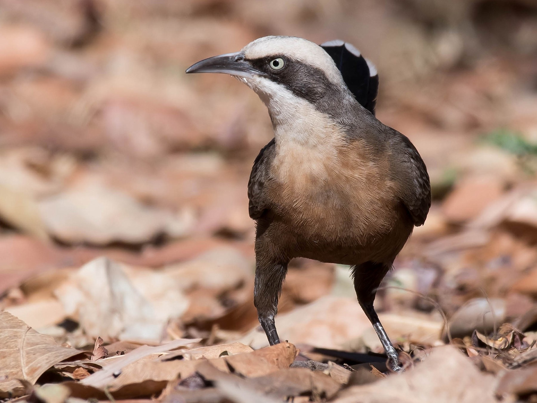 Gray-crowned Babbler - Terence Alexander