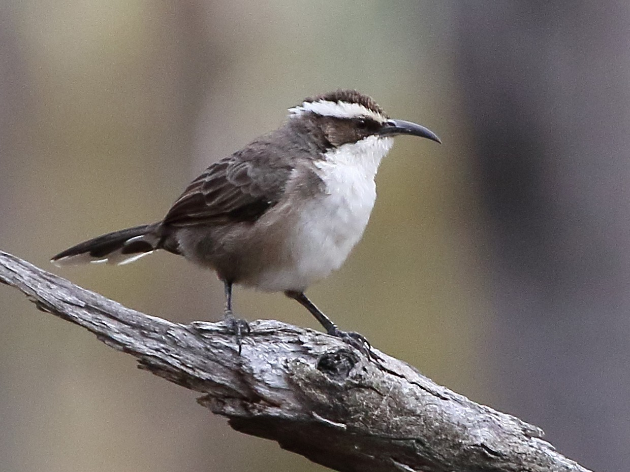 White-browed Babbler - Scott Eaton