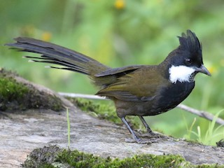 - Eastern Whipbird