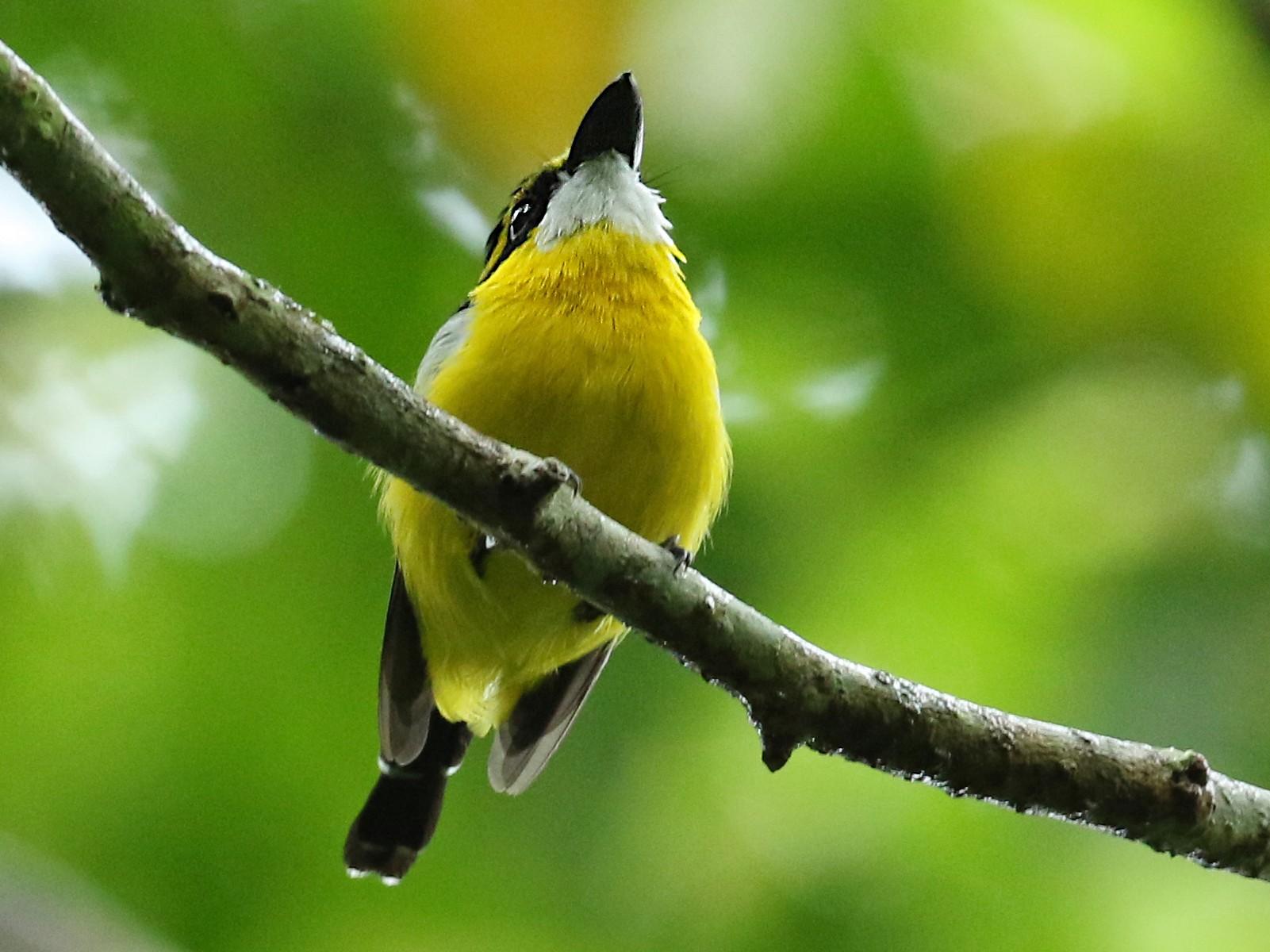 Yellow-breasted Boatbill - Luke Seitz