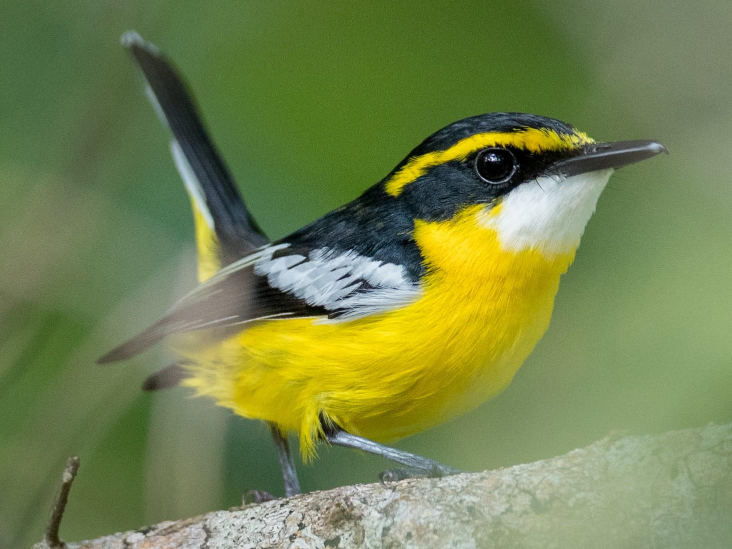 Yellow-breasted Boatbill - Ian Davies