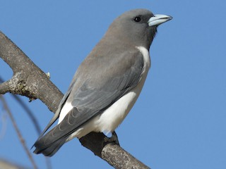 - White-breasted Woodswallow