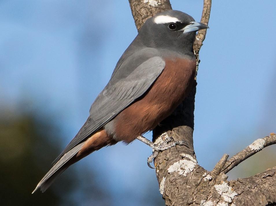 White-browed Woodswallow - John  Van Doorn
