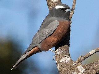 - White-browed Woodswallow