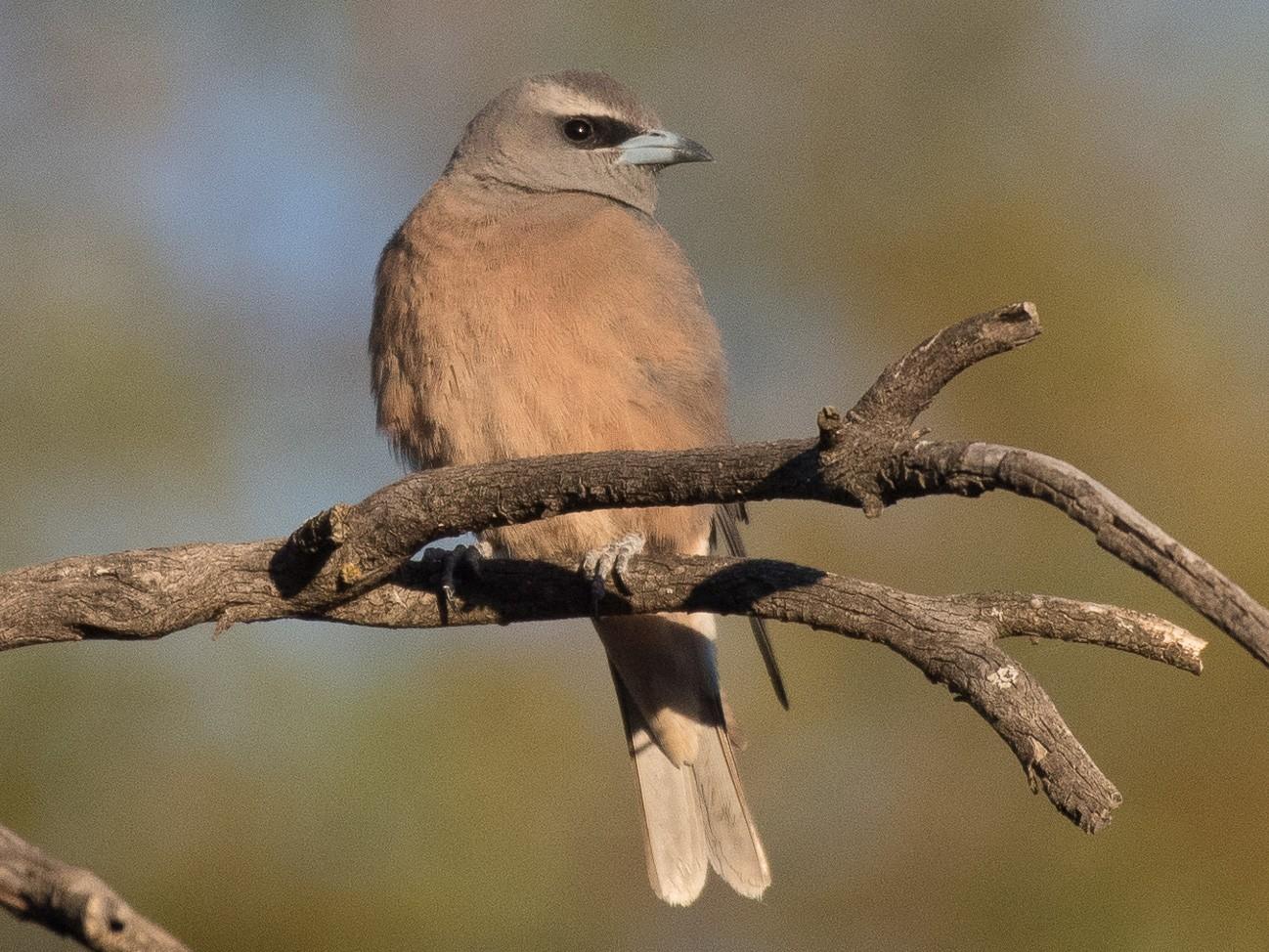 White-browed Woodswallow - John Daniels