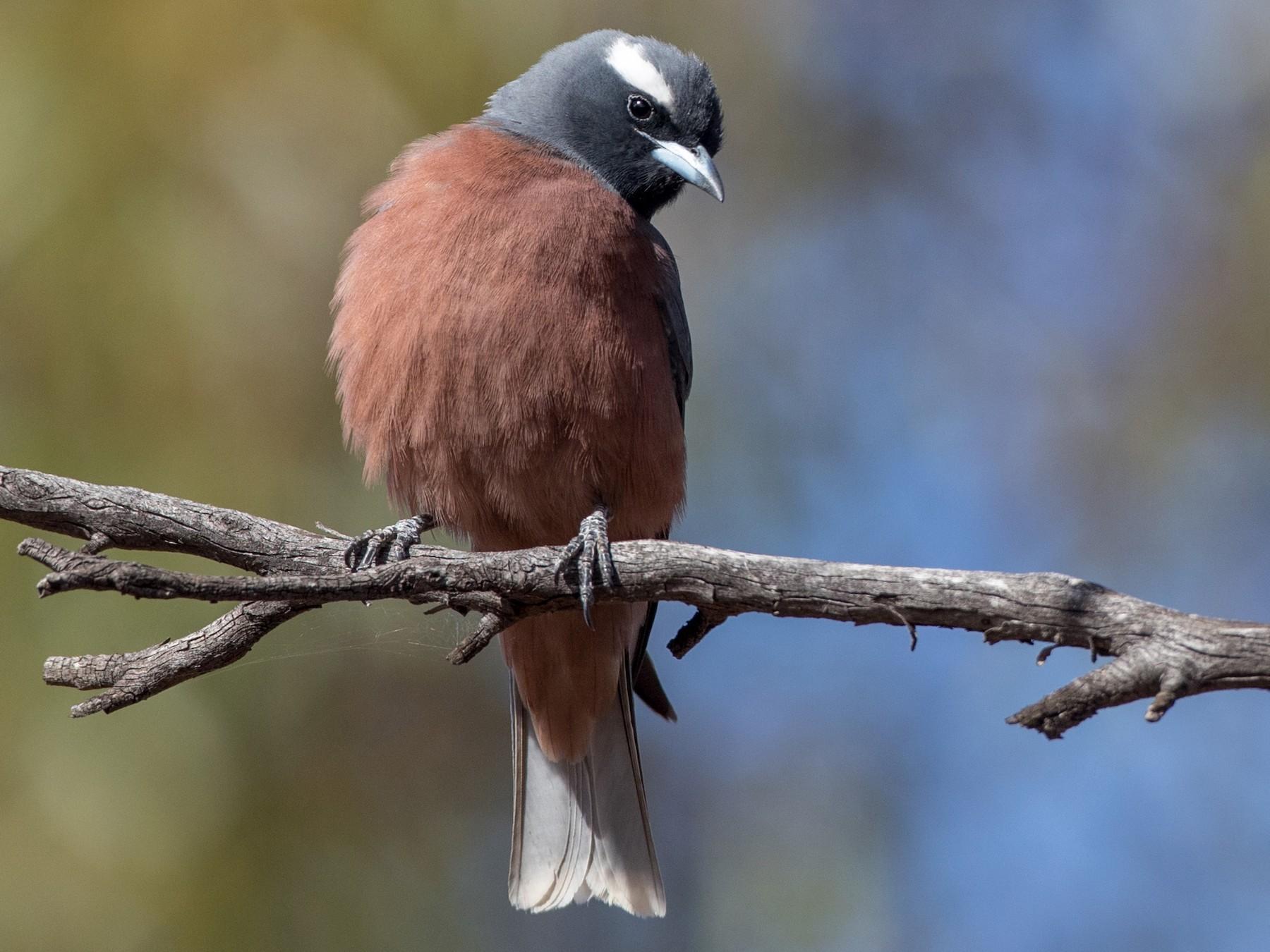 White-browed Woodswallow - Ian Davies