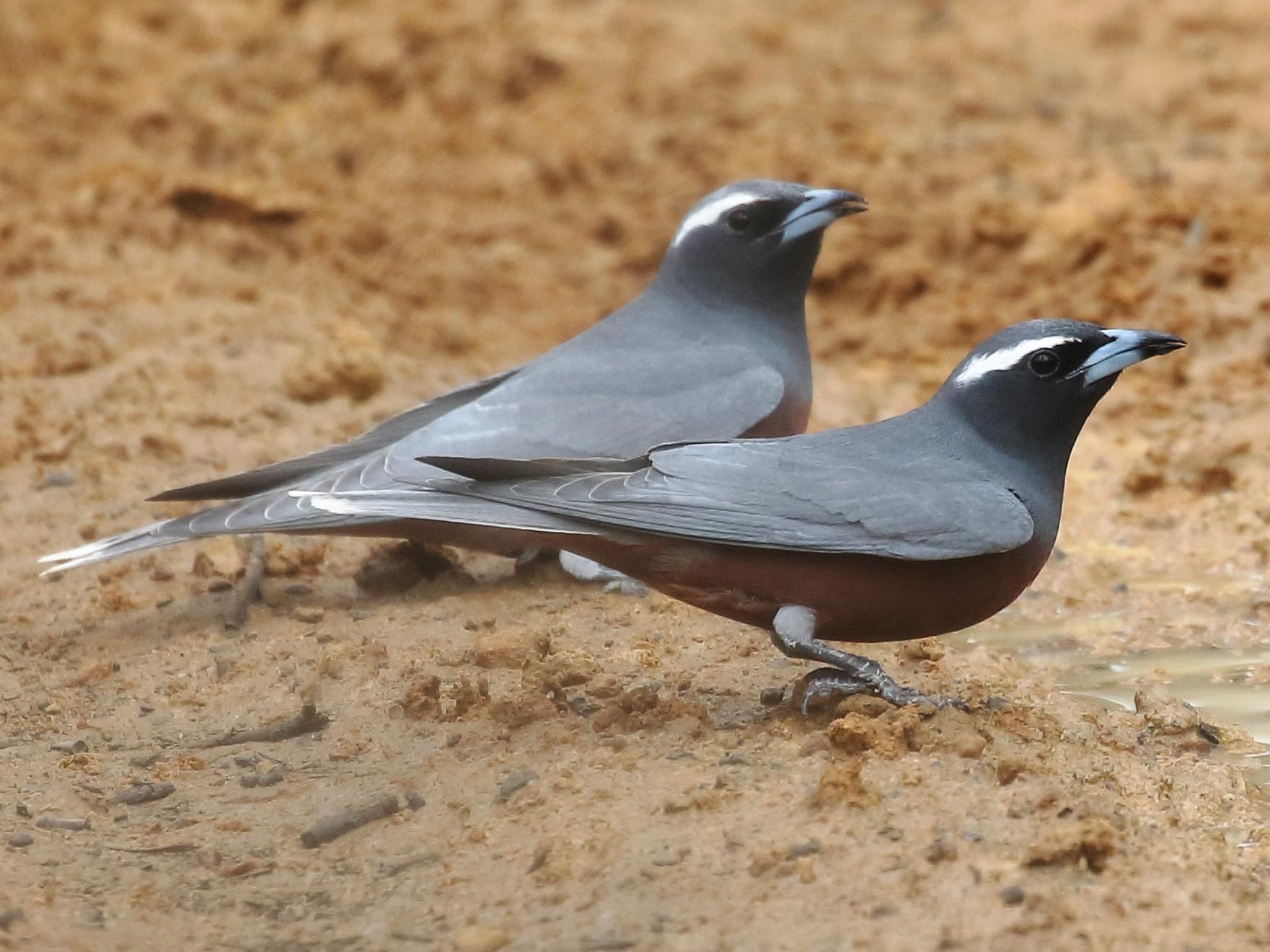 White-browed Woodswallow - Michael Rutkowski