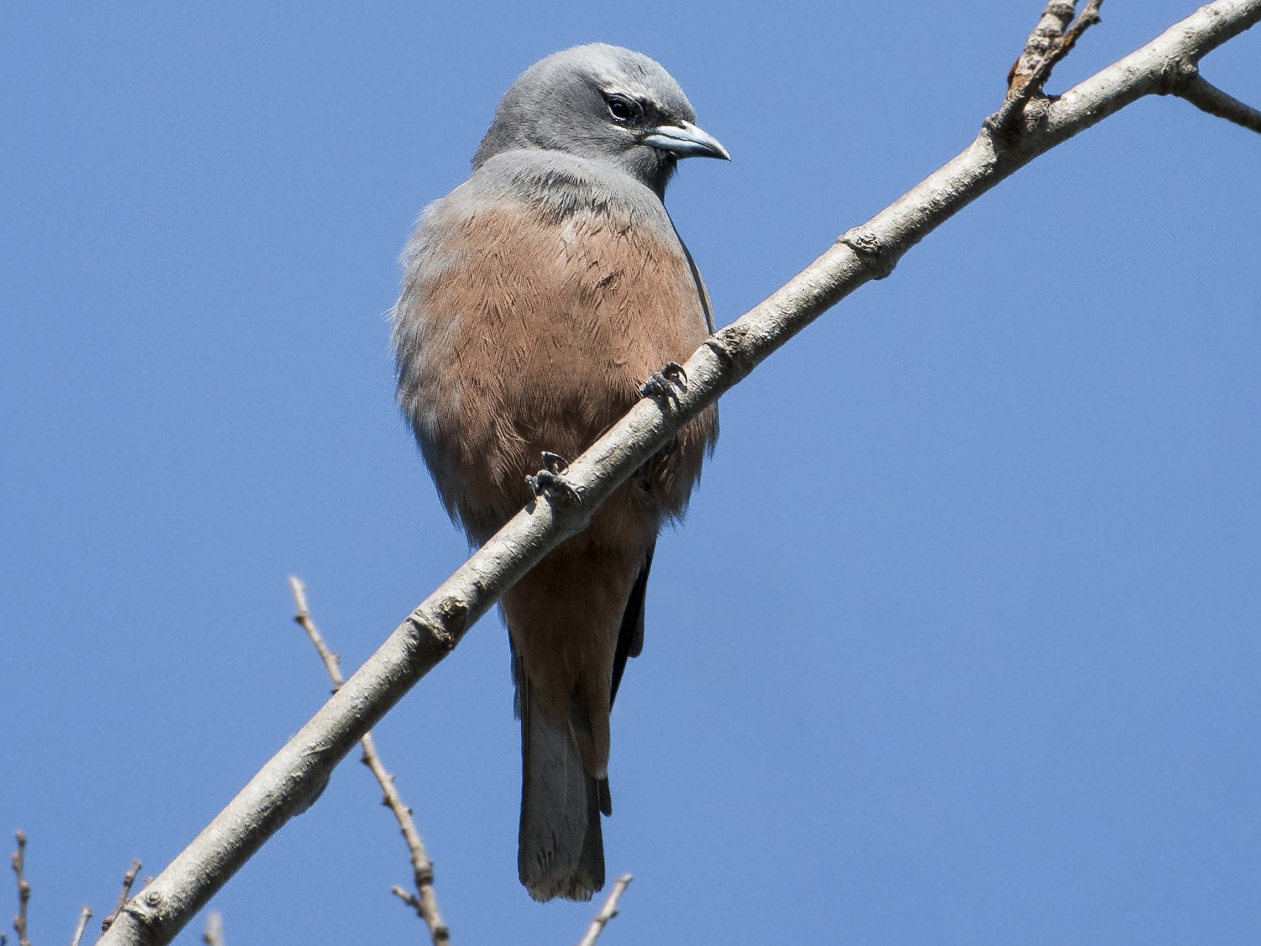 White-browed Woodswallow - Lucas Brook