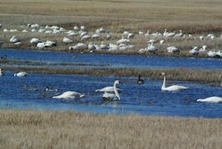 Tundra Swan, ML125697701