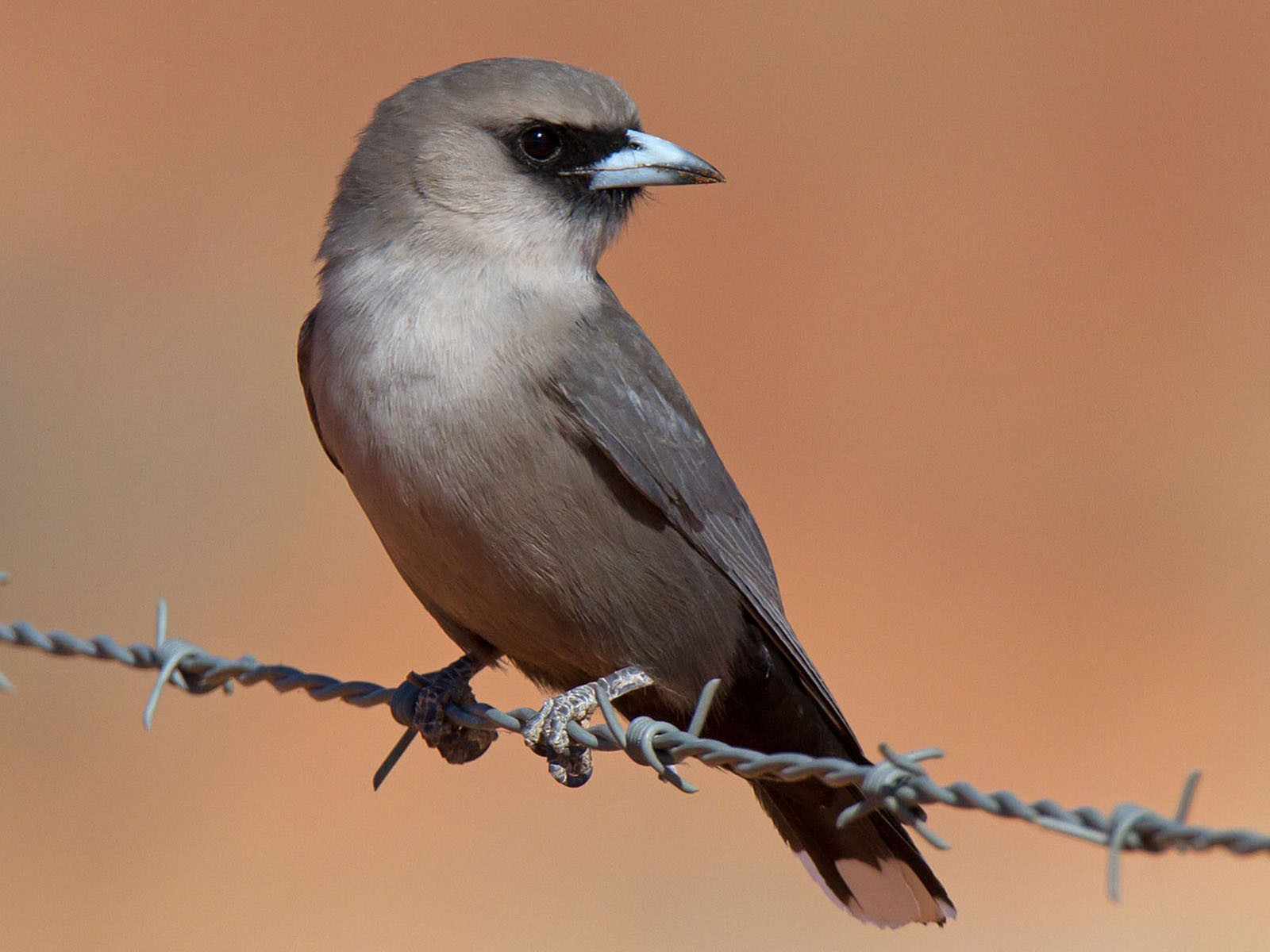 Black-faced Woodswallow - Martin and Penny Potter