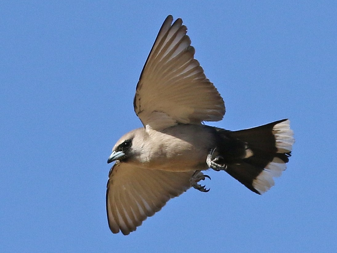 Black-faced Woodswallow - David Ongley