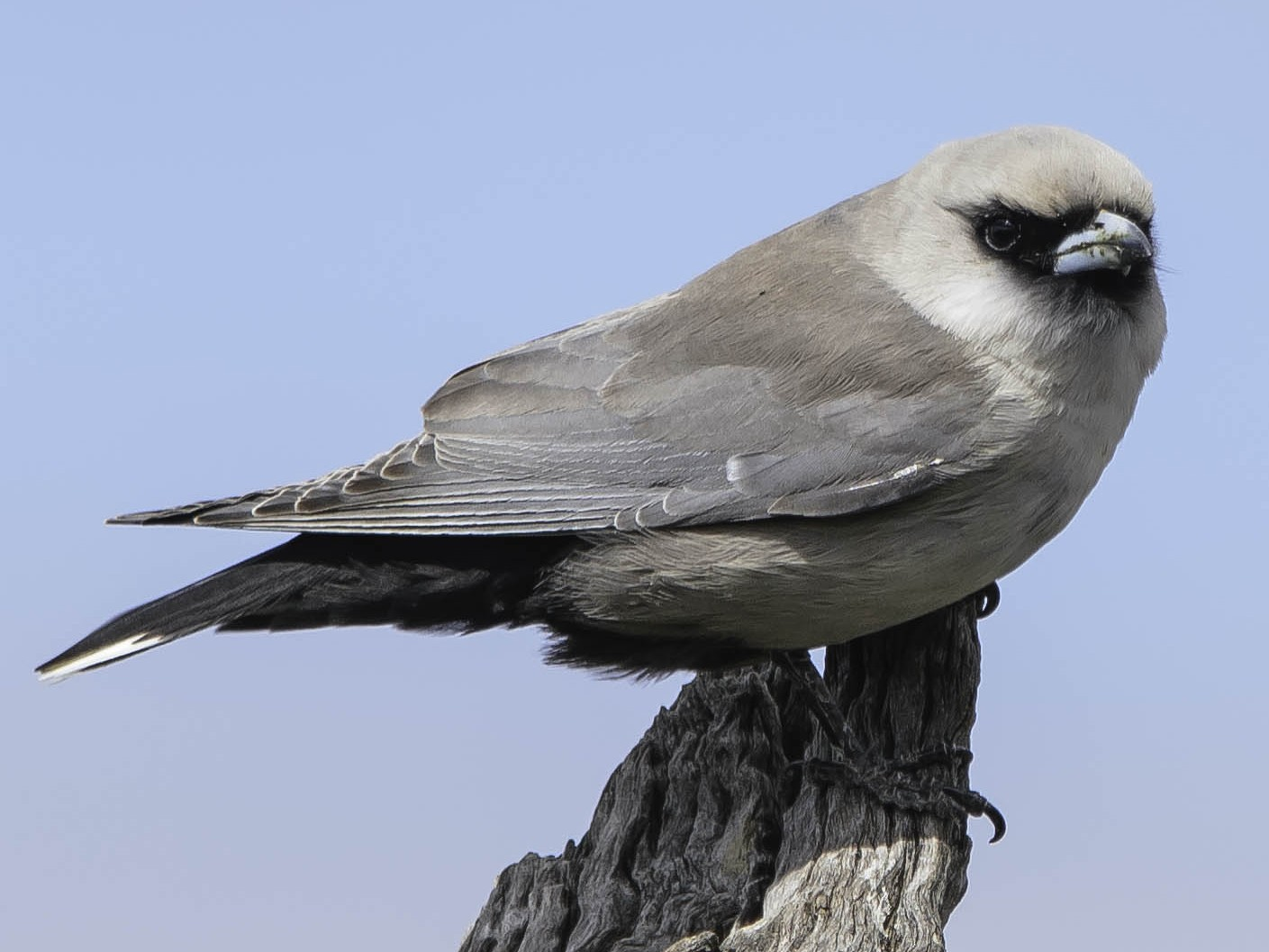 Black-faced Woodswallow - Adam Fry