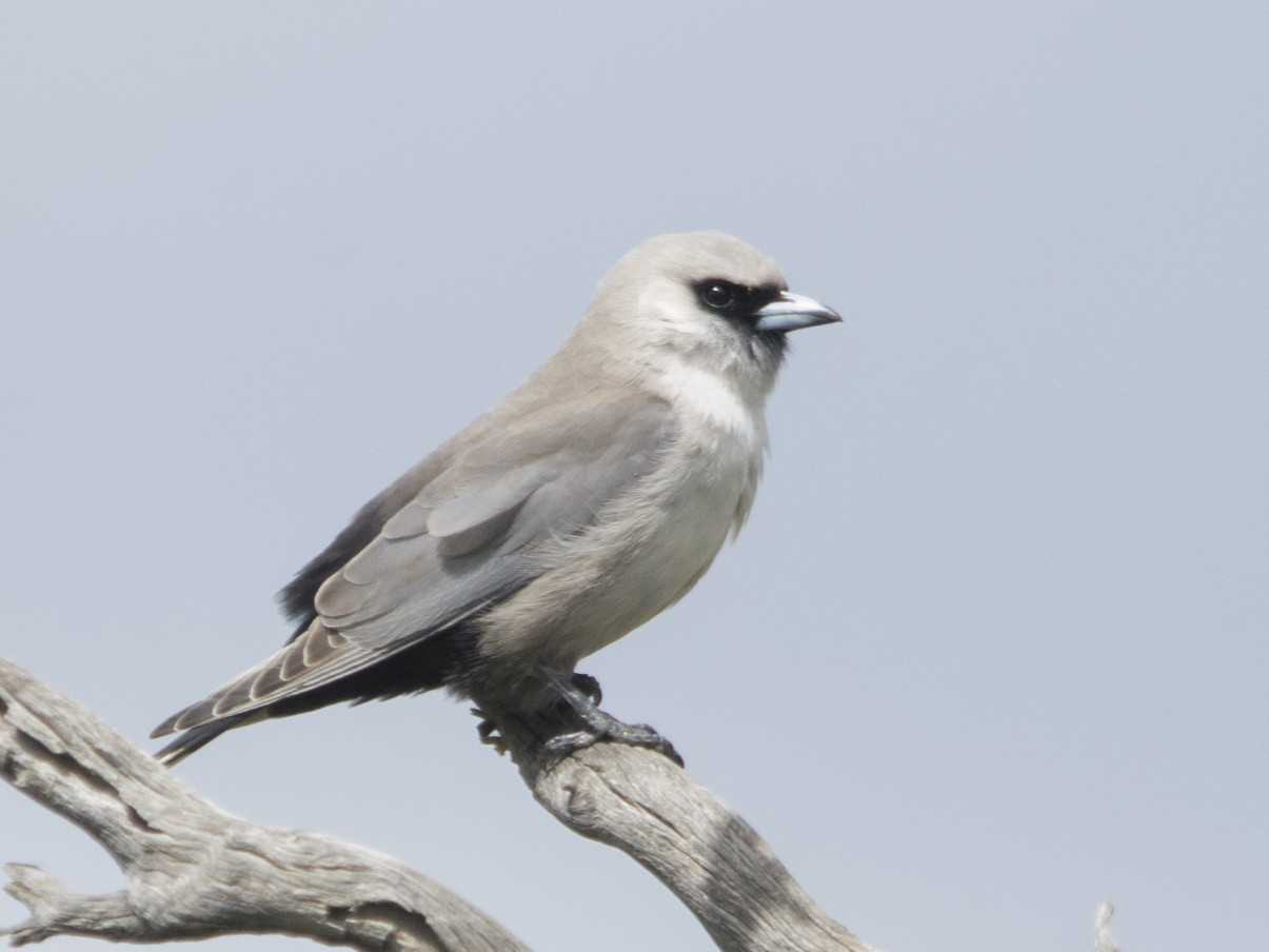 Black-faced Woodswallow - Owen Lishmund