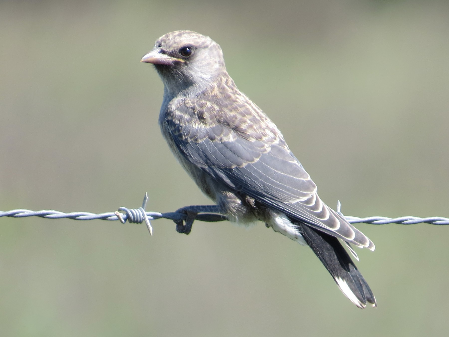 Black-faced Woodswallow - Len and Chris Ezzy