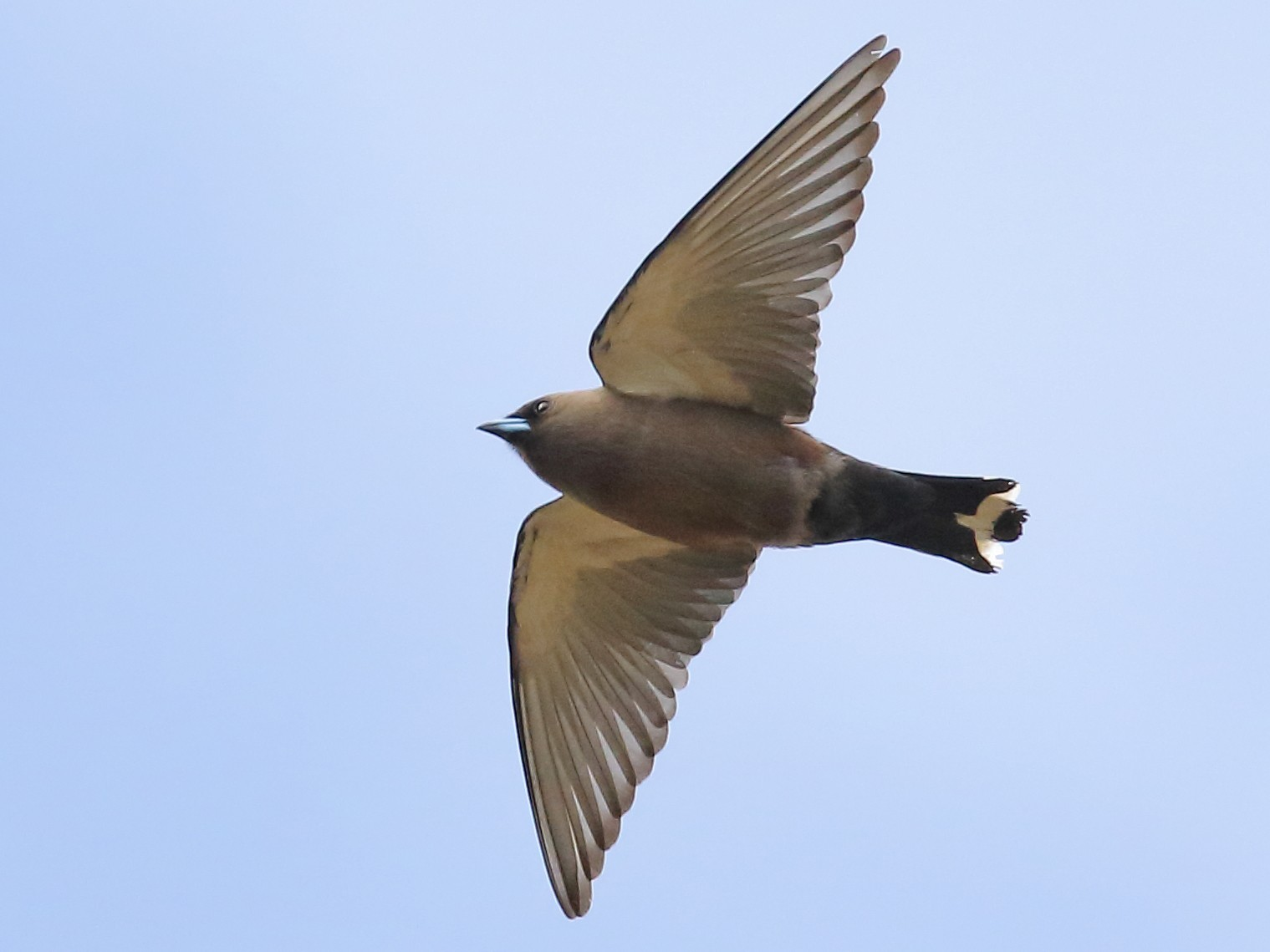 Dusky Woodswallow - Michael Rutkowski