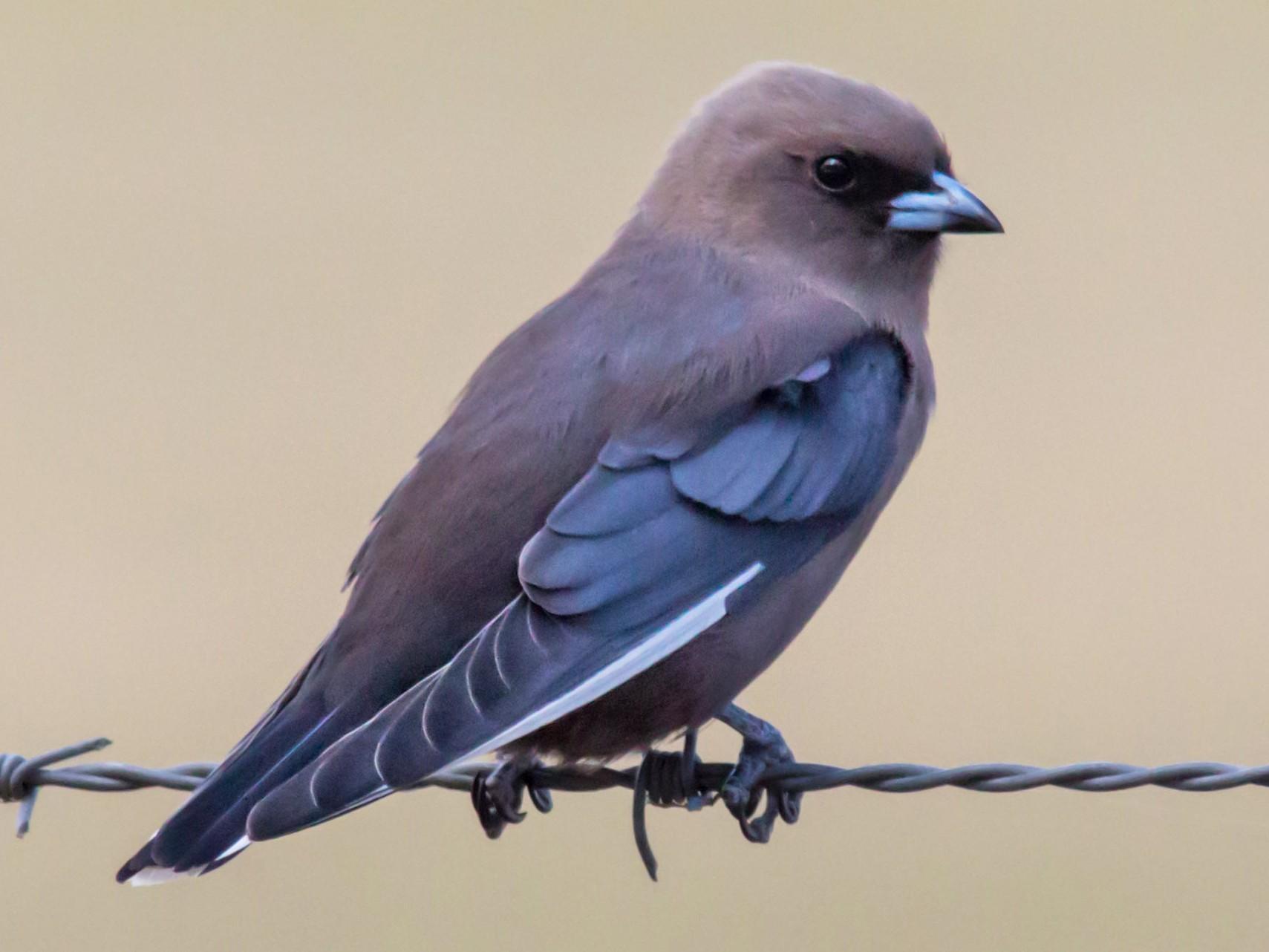 Dusky Woodswallow - Andrew Allen
