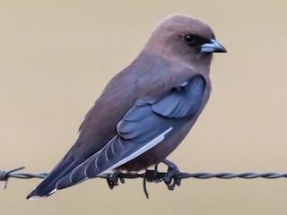 - Dusky Woodswallow
