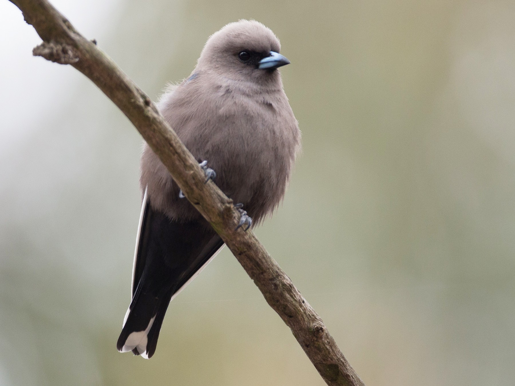 Dusky Woodswallow - Chris Wood
