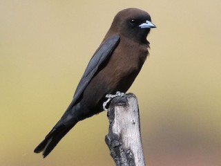 - Little Woodswallow