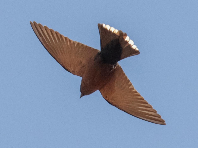 Little Woodswallow - Tommy Pedersen