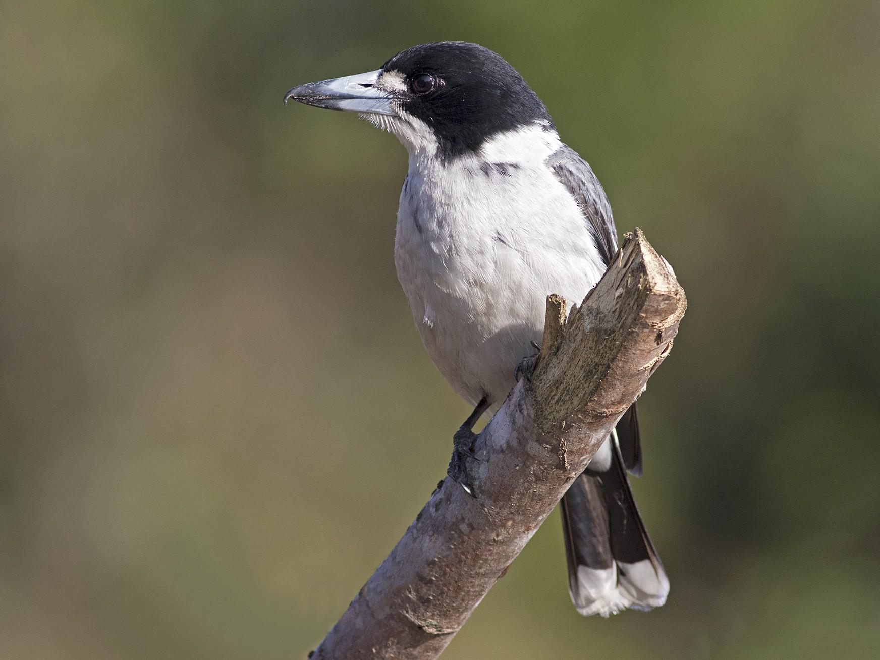 Gray Butcherbird - Stephen Murray