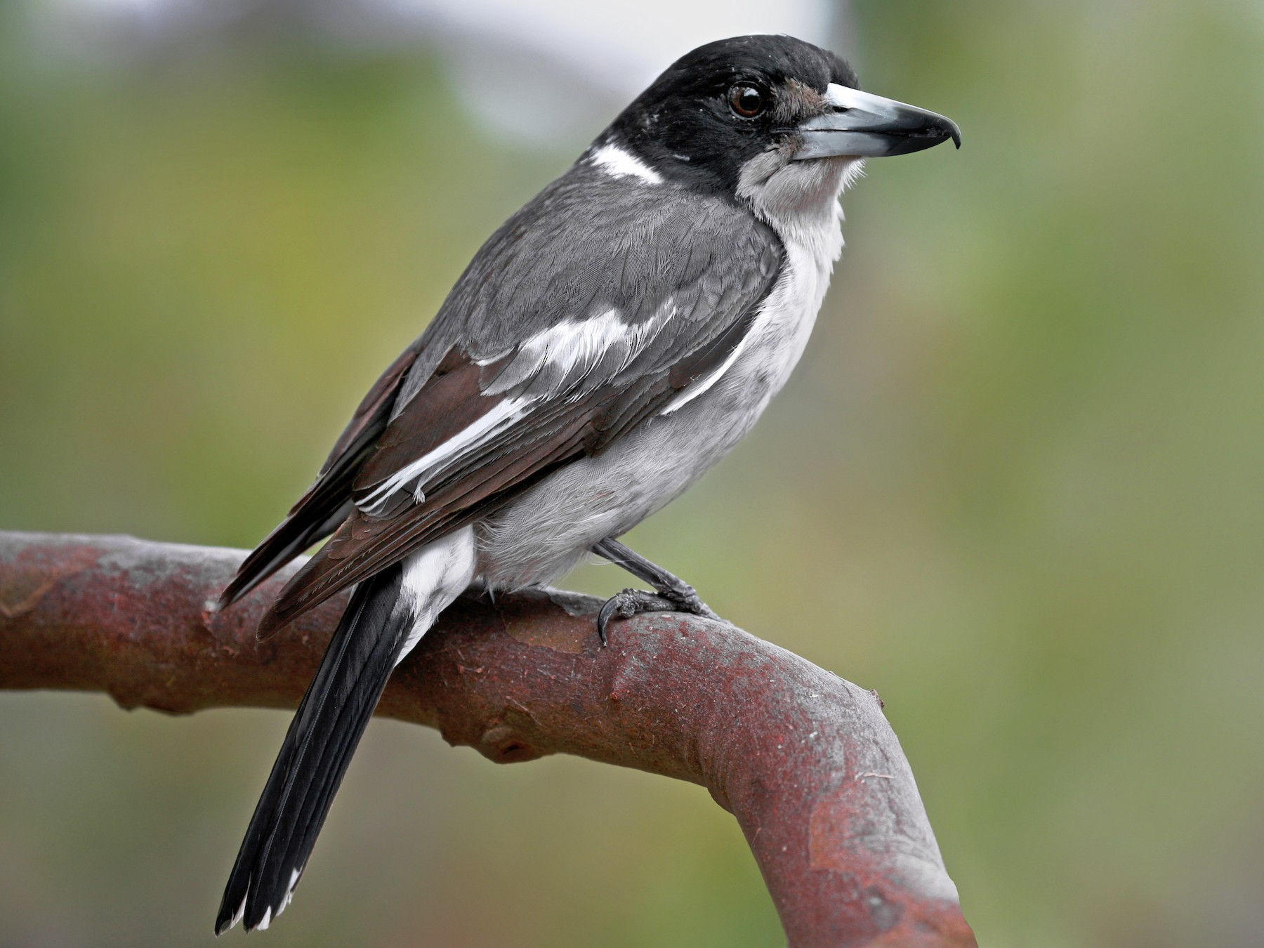 Gray Butcherbird - Anonymous eBirder