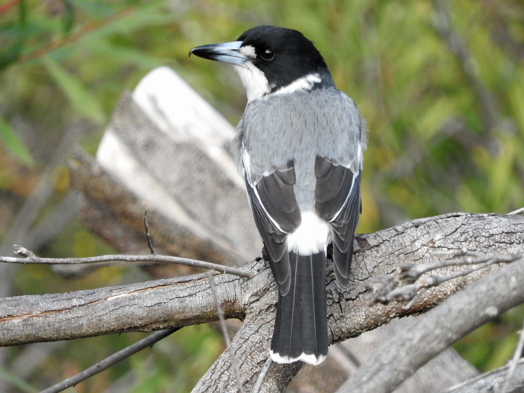 Gray Butcherbird - Jeffrey Crawley