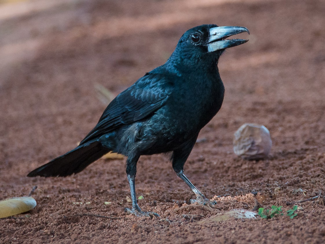 Black Butcherbird - Jan Lile